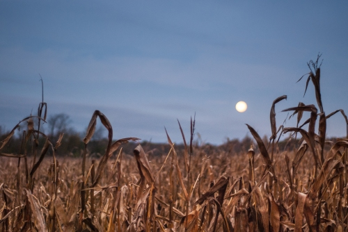 Corn Field in Morning