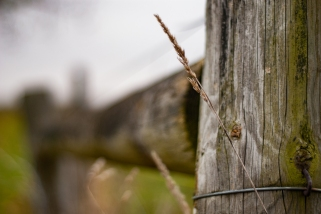 Wheat on Fence